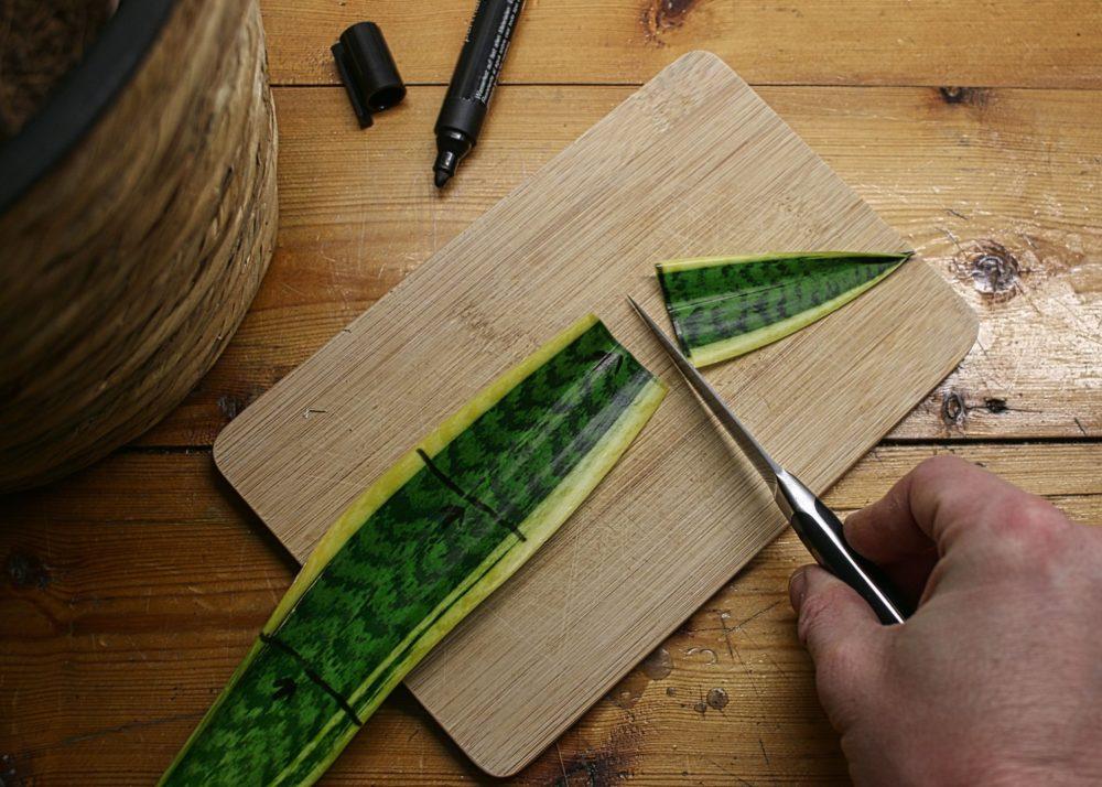 Teilen der Bogenhanf-Blätter mit einem Messer