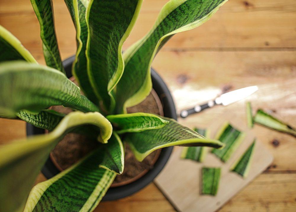 eine Bogenhanf-Pflanze mit Stecklingen